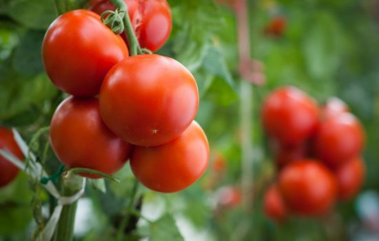 An investigation by the Anti Dumping Commission is looking into allegations that Italian canned tomatoes have been exported to Australia for less than their normal value.