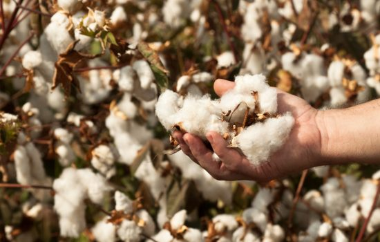 Harvested cotton in a man's hand