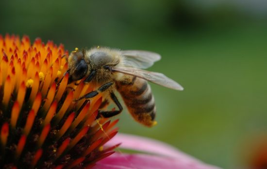 Bee populations are being indirectly harmed by fungicides according to new research. Image courtesy of Flickr - cygnus921