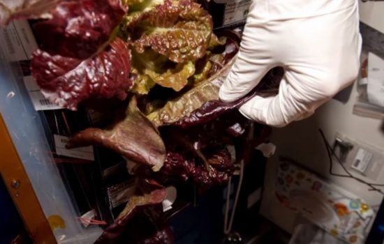 Lettuce grown within the Veggie experiment on the ISS. Image courtesy of Nasa.