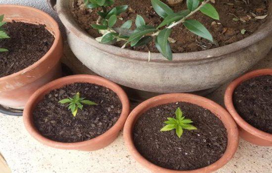 marihuana-uraguay