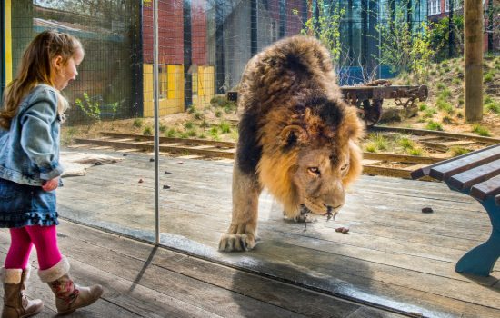 The AirGlaz glass, used in the Land of the Lions enclosure, combines amazing clarity, anti reflection properties and strength - image courtesy of Romag.