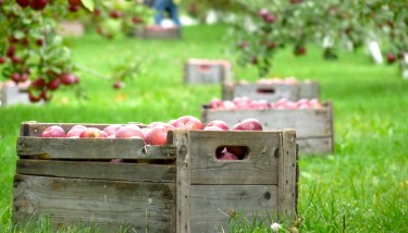 Picking apples is very labor intensive. Image courtesy of Flickr/izzyplante