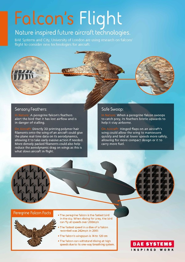 Peregrine Falcons inspires future aircraft tech – infographic courtesy of BAE Systems.