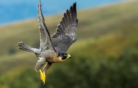 A peregrine falcon is able to stay in control and airborne at speeds of up to 200mph, even in high winds – image courtesy of BAE Systems.