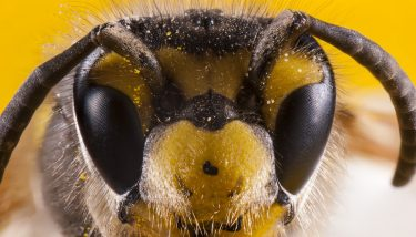 How bees see colour. A macro view of the head of a bee showing its compound eyes and its three ocelli on the top of its head - stock image courtesy of APS.