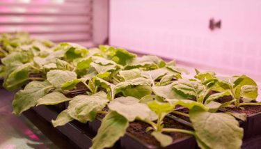 Plants closely related to tobacco were used to grow polio vaccines. Image courtesy of Leaf Expression Systems.