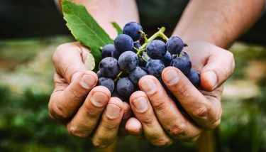 Farmer hands holding grapes - image courtesy of Depositphotos.