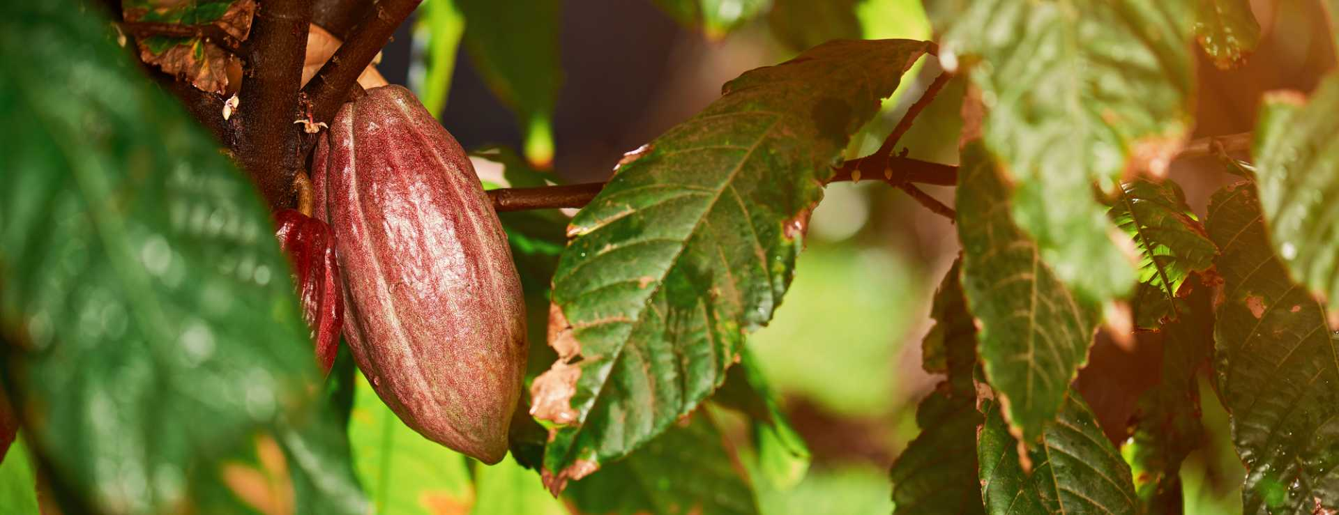One cocoa pod on tree - image courtesy of Depositphotos.