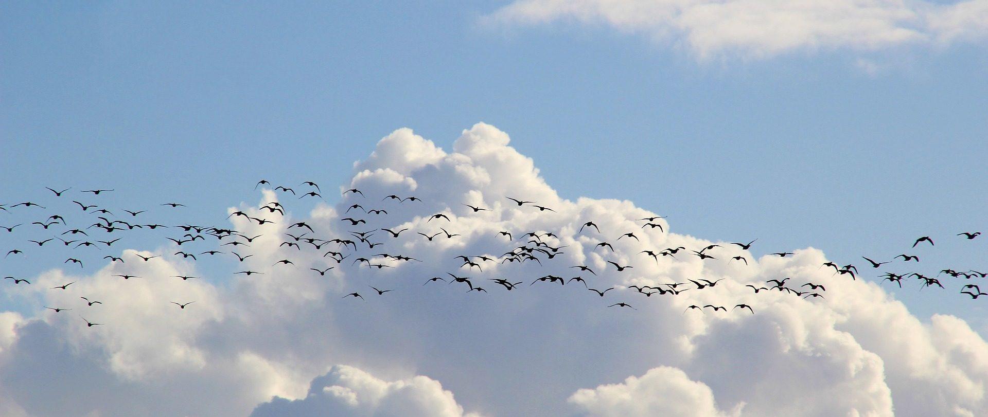 swarm = bird migration -Image by 💛 Passt gut auf euch auf und bleibt gesund! 💛 from Pixabay