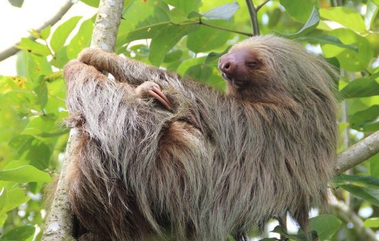 Sloth Costa Rica - Image by Philip Spanhove from Pixabay