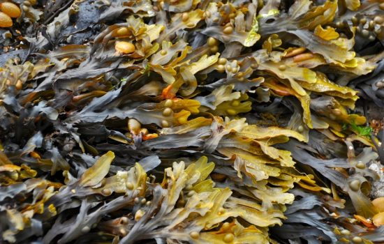 seaweed-270426_1280. Image by Ronile from Pixabay